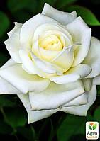 """Роза чайно-гибридная """"Атэна"""" (саженец класса АА+) высший сорт"""