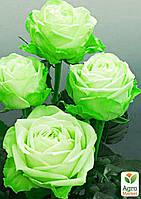 """Роза чайно-гибридная """"Киви"""" (саженец класса АА+) высший сорт"""
