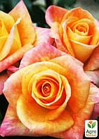 """Роза чайно-гибридная """"Версилия"""" (саженец класса АА+) высший сорт"""