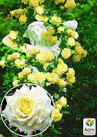 """Роза плетистая """"Elfe"""" (саженец класса АА+) высший сорт"""