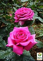 """Роза английская """"Мерлин"""" (саженец класса АА+) высший сорт"""