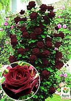 """Роза плетистая """"Черная королева"""" (саженец класса АА+) высший сорт"""
