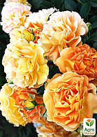 """Роза английская """"Экскалибур"""" (саженец класса АА+) высший сорт"""