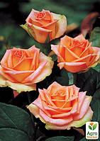 """Роза чайно-гибридная """"Дуэт"""" (саженец класса АА+) высший сорт"""