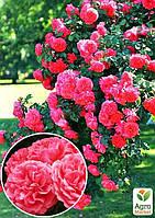 "Роза плетистая ""Розариум Ютерзен"" (саженец класса АА+) высший сорт"