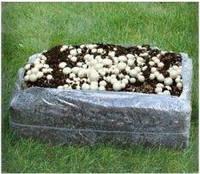 Большой блок Шампиньонов, готовый засеянный комлект Стандарт (Мицелий грибов Шампиньон засеянный в компост)