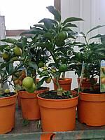 Мандарин Кумкват (маргарита, нагами) 27-30см.