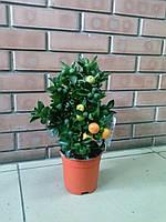 Дерево Мандарин, Calamondin привитое цитрусовое комнатное растение с плодами, фото 1