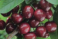 Крупноплодная, сертифицированные саженцы черешни на подвое вишня магалебская