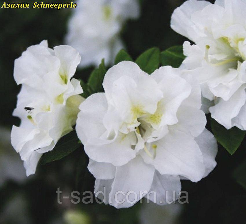 Азалия японская Schneeperle  Снежная жемчужина 4год