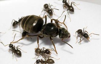 Lasius niger (Черный садовый муравей)