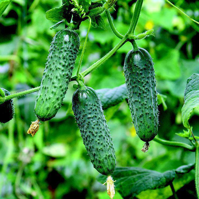 Мадита F1 - семена огурца, Seminis 1 000 семян