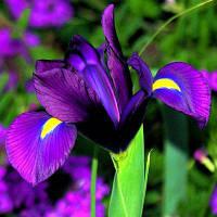 Ирис голландский (Ксифиум) Purple Sensation (Пурпл Сенсейшн) 5 луковиц