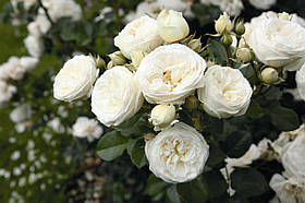 Роза Артемис (Artemis) Шраб, фото 2