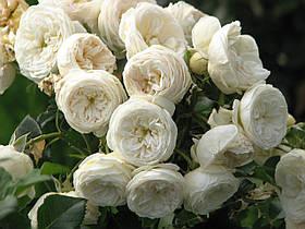 Роза Артемис (Artemis) Шраб, фото 3