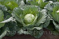 Семена капусты б/к Сунта F1 2500 сем. Taki Seed