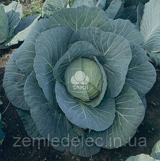 Семена капусты б/к Чирз F1 2500 семян Takii Seed