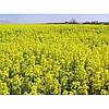 НПЦ 9800 семена оз.рапса Лембке  Семена озимого рапса НПЦ-Лембке  Таурус, Кронос, Висби, Рохан.