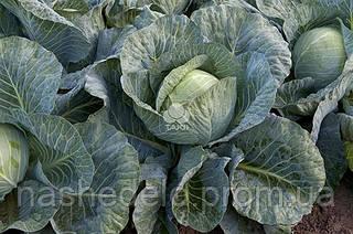 Семена капусты б/к Структа F1 1000 семян Takii Seed