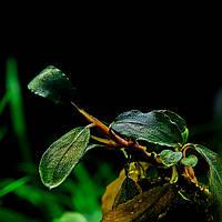 Буцефаландра / Bucephalandra sp. Brownie Blue, отросток 5 листов.