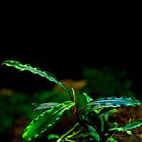 Буцефаландра / Bucephalandra sp. Godzila Green mini, отросток 5 листов.