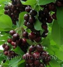 Саженцы черешни Мелитопольская Черная на Гизеле 6, ВСЛ-2, антипке (вишне маголебской) Под ЗАКАЗ купить