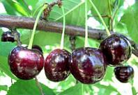 Сертифицированные саженцы черешни Мелитопольская Черная на вишне магалебская