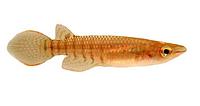 Полосатая щучка ЛИНЕАТУС АПЛОХЕЙЛУС (Aplocheilus lineatus)