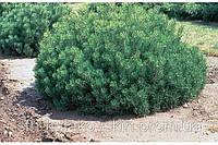 Сосна горная (Р. mugo)
