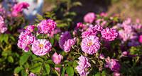 Лепестки розы 50 грамм