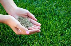 Опис культур газонних трав