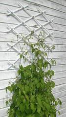 Решетка садовая Trellis 1*3м белая