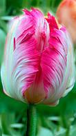 Тюльпан Попугаевидный Elsenburg