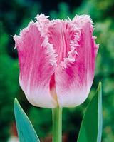 Тюльпан Бахромчатый Dallas