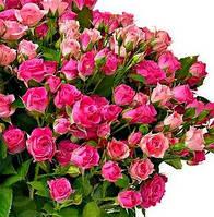 Роза спрей Грация, фото 1