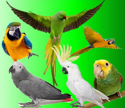 Крупные попугаи - Жако, Амазон, Александрийский, Сенегальский попугай