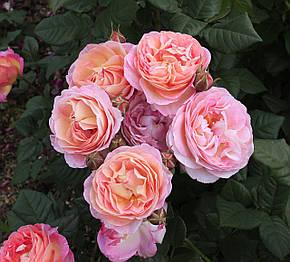 Роза Мадам де Шталь (Madame de Stael) Шраб, фото 2