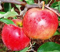 Саженцы яблони Джонагольд