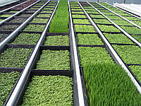 Выращивание зелени в теплице как бизнес.