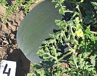 Семена арбуза Орфей (ранний)