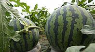 Арбузы в теплице – как правильно выращивать