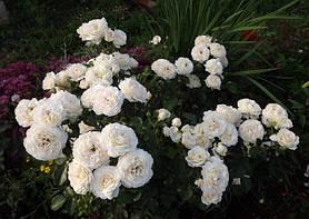 Роза Крем Сенсейшен (Cream Sensation) Спрей, фото 2