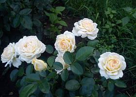 Роза Крем Сенсейшен (Cream Sensation) Спрей, фото 3
