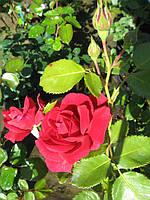 Саженцы роз Подарочный набор из 3-х саженцев плетистых роз