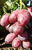 Саженец винограда ДУНАВ