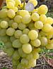 Саженец винограда ПРЕЗЕНТАБИЛЬ