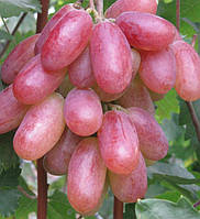 Саженец винограда ПРЕОБРАЖЕНИЕ