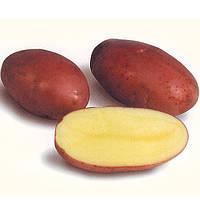 Картопля Лабелла сорт посадковий середньоранній великий перша репродукція Голландія фракція 35 - 55 мм