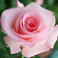 Роза Фламинго (Flamingo), фото 1