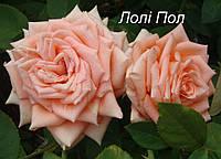 Роза Лоллипоп, фото 1